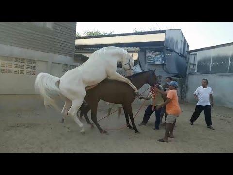 horse breeding american